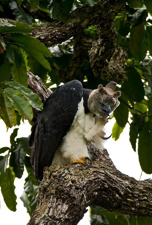 Parauapebas_PA, Brasil...Floresta Nacional de Carajas. Harpia (Harpya harpyja) em castanheira (Bertholletia excelsa) na floresta amazonica...The Carajas National Forest. The Harpy Eagle (Harpia harpyja) on the Brazil nut (Bertholletia excelsa) in Amazon rain forest...Foto: JOAO MARCOS ROSA / NITRO