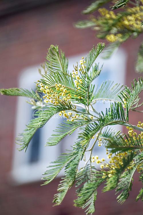 Acacia dealbata (Mimosa) flowering in north London