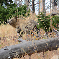 A grizzly bear cub in Yellowstone National Park