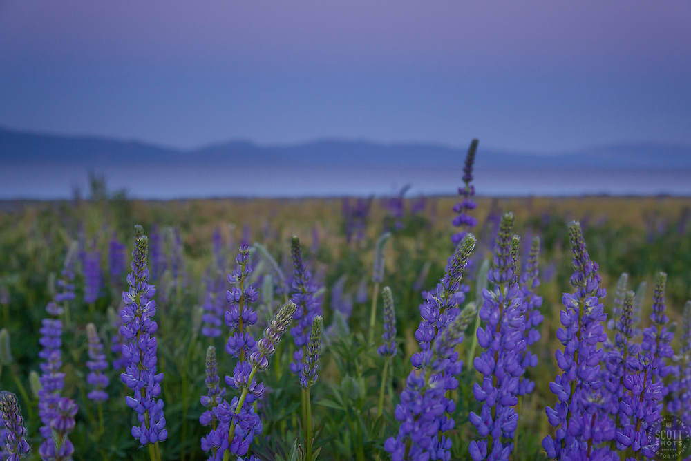 """Lupine Sunset 7"" -This purple sunset and lupine flowers were photographed at Lake Forest Beach Park at Lake Tahoe, just outside of Tahoe City, CA."