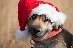 Shepard puppy wearing a Santa Claus hat