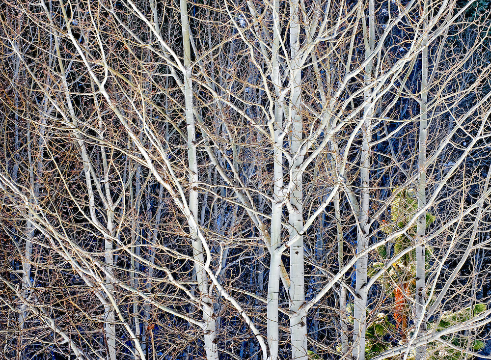 luminescent stand of winter aspen trees, Washington Cascades