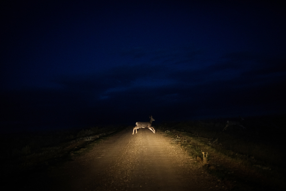 """A deer crosses the road at the Shadehill Recreation Area near the spot where frontiersman Hugh Glass was mauled, inspiring the movie """"The Revenant,"""" south of Lemmon, SD on October 6, 2017."""