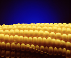 Dramatic close up of yellow kernels, corn on the cob with dramatic blue background and copy space.