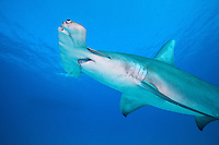 A Great Hammerhead Shark swims toward the surface<br /> <br /> Shot in Bahamas