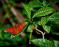 Gulf Fritillary Butterfly on a leaf. Along the Loop road in Big Cypress National Preserve. Winter Nature in Florida Image taken with a Nikon D4 camera and 80-400 mm VRII telephoto zoom lens