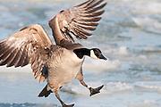 Canada Goose, Branta canadensis, Detroit River, Ontario, Canada