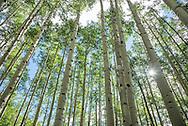 Aspen trees in summer in the Maroon Bells wilderness area in Aspen, Colorado.