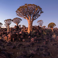 Africa, Namibia, Keetmanshoop, Panoramic view of Quiver Trees (Aloe dichotoma) in Kokerboomwoud (Quiver Tree Forest) at dusk