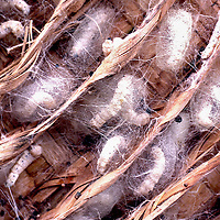 Silkworm cocoons in bamboo frame. Closeup. One of a series.