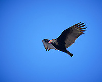 Turkey Vulture in Flight. Image taken with a Fuji X-T2 camera and 100-400 mm OIS lens (ISO 320, 280 mm, f/5.6, 1/800 sec).