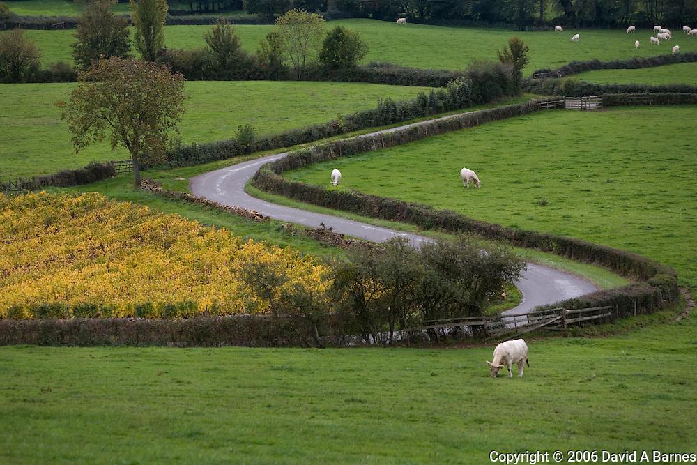 Charolais cattle at pasture, Saone et Loire, Burgundy, France