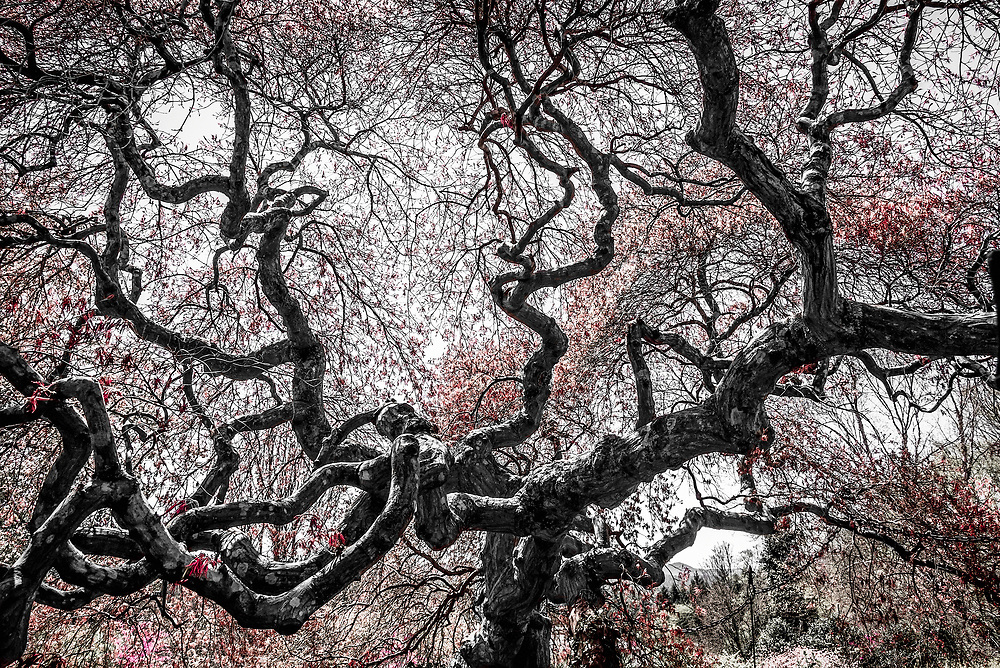 The beautiful lacy leaf Japanese Maple (Acer palmatum of the dissectum group) specimen at the Biltmore Estate in Asheville, NC is likely close to 100 years old.
