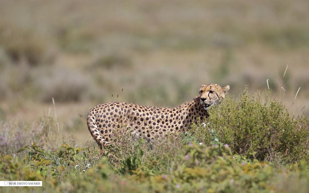 Cheetah hunting in the central Serengeti