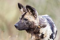 Radio-collared Wild Dog, Zimanga Game Reserve, KwaZulu Natal, South Africa