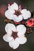 Adenandra viscida flower, Heuningberg Nature Reserve, Bredasdorp, Western Cape, South Africa