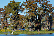 Large Egret wading by Bald cypress trees Taxodium distichum, covered with Spanish Moss, Atchafalaya Swamp, Louisiana USA