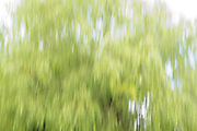 Impressions of Nature - Weeping Willow tree, abstract,  England