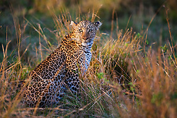 A female leopard  (Panthera pardus) sitting in tall grass during the last moments of sun prior to hunting,Masai Mara, Kenya