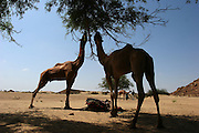 Camels graze in the Thar desert near Jaisalmer, Rajasthan, India. The Thar desert borders Pakistan and the Sam Sand Dunes is a popular tourist attraction..Photo by Suzanne Lee