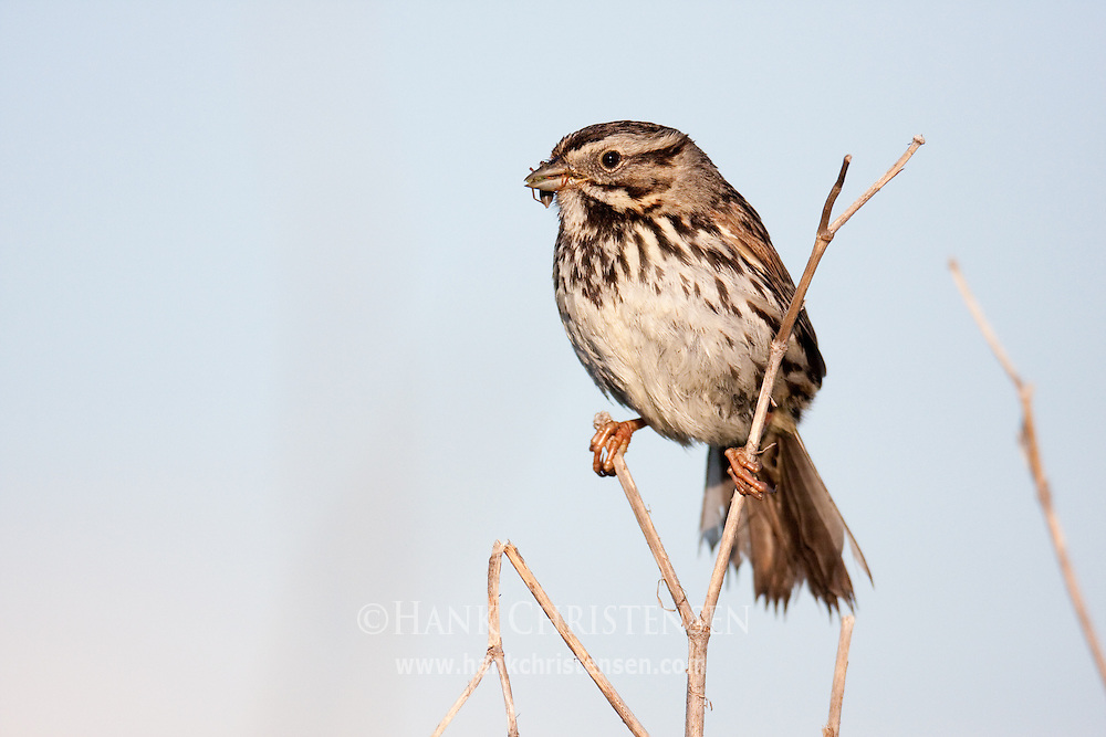 A song sparrow with a bug in its beak perches on thin wetland twigs