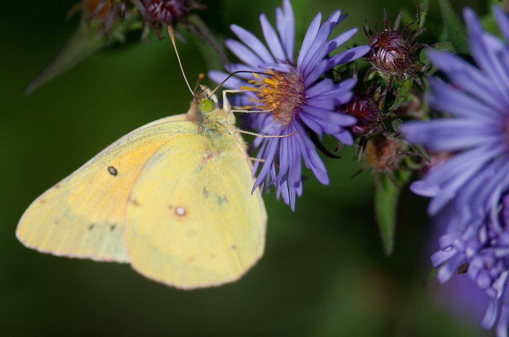 Yellow Butterfly on Aster in upstate, NY