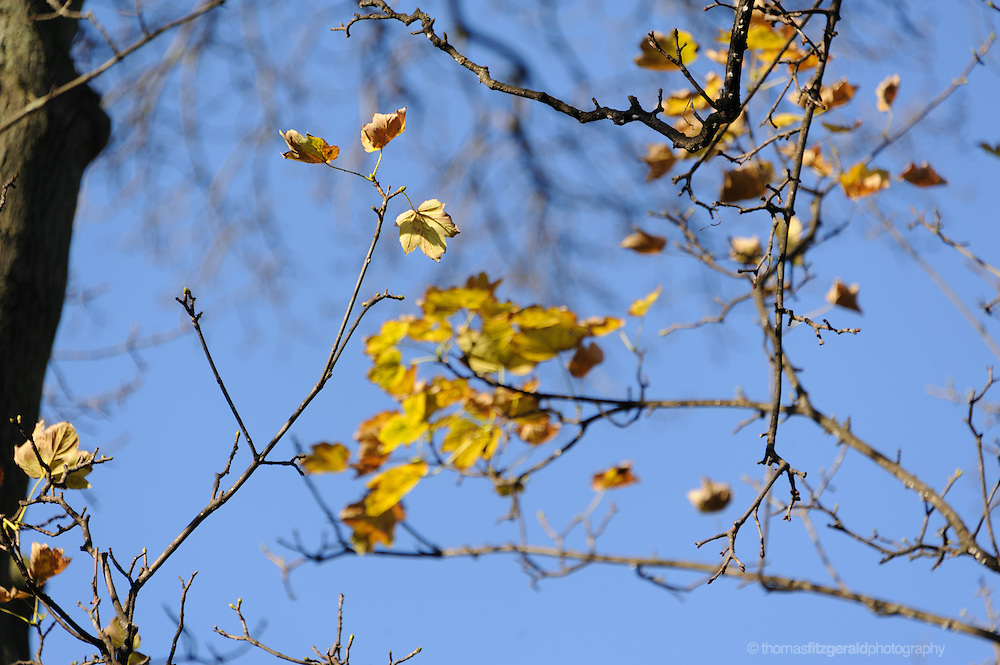 An Autumn scene with Orange and yellow leaves on bare branches against the background of a rich blue sky