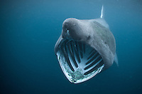 20 foot basking shark with mouth open in the Outer Hebrides, Scotland