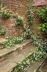 Self sown Erigeron karvinskianus syn E. mucronatus growing in the steps and wall at Great Dixter. Mexican daisy.