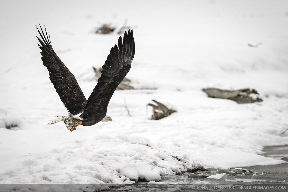 The head from a salmon carcass appears to be biting the tail of a bald eagle (Haliaeetus leucocephalus) as if flies from the banks of the Chilkat River in the Alaska Chilkat Bald Eagle Preserve. During late fall, bald eagles congregate along the Chilkat River to feed on salmon. This gathering of bald eagles in the Alaska Chilkat Bald Eagle Preserve is believed to be one of the largest gatherings of bald eagles in the world.