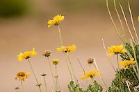 MARGARITA DE LA SIERRA, (Gaillardia cabrerae covas), ESPECIE ENDEMICA, PARQUE NACIONAL LIHUE CALEL, PROV. DE LA PAMPA, ARGENTINA
