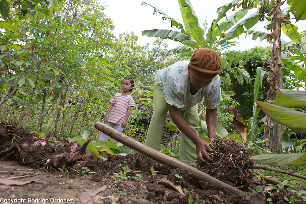 Menur cooperative member Wagiyem, 51, digs up 'ganyong,' a tuber, from the garden in front of her house while her granddaughter Alifia, 5, looks on. They live in Wareng, Wonosari subdistrict, Gunung Kidul district, Yogyakarta Special Region, Indonesia.