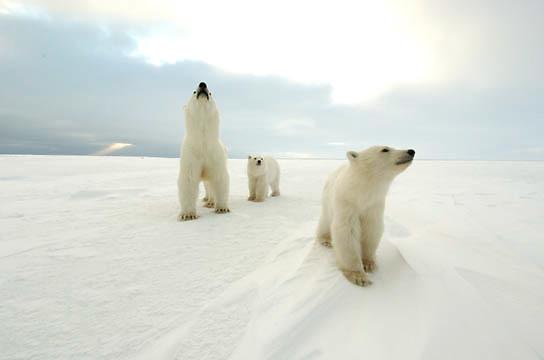 Polar Bear (Ursus maritimus) a mother and her two cubs at Cape Churchill, near Churchill, Manitoba. November.