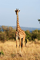 Maasai or Kilimanjaro Giraffe grazing in the beautiful plains of the masai mara reserve in kenya africa