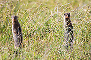 Banded mongoose (Mungos mungo). The banded mongoose is found throughout sub-Saharan Africa, inhabiting grassland, woodland and rocky country. The banded mongoose is a social creature, living in groups of up to 20 individuals. The groups are nomadic, rarely staying in one location for more than a week. Their dens are usually created from modified termite or aardvark holes, but they do occasionally dig their own. The banded mongoose feeds mainly on insects but will also take rodents, frogs and berries. They are also skilled snake hunters.