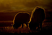 European bisons (Bison bonasus) grazing on a cold morning