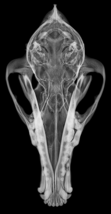 X-ray image of a coyote skull and jaw (top view, white on
