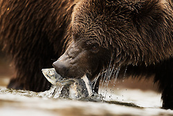 Grizzly bear (Ursus arctos) in Katmai, Alaska, USA