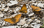 Orange butterflies with black spots gather in alpine Mount Robson Provincial Park, British Columbia, Canada.