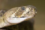 Echis coloratus, saw-scaled viper