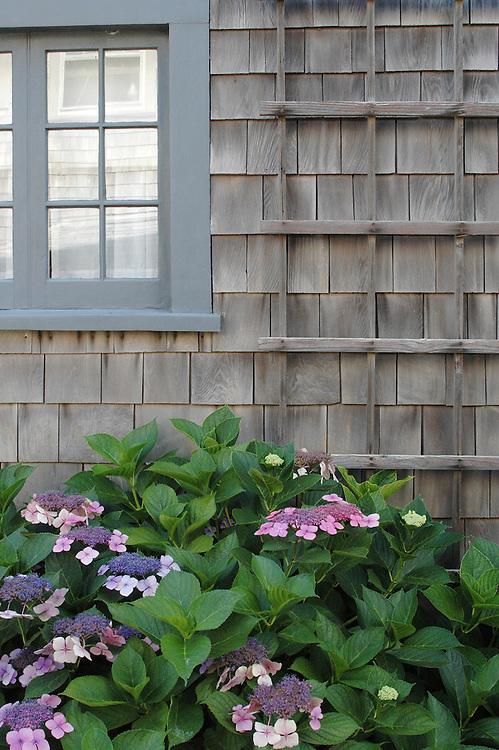 Traditional grey shingle home and hydrangeas on Nantucket Island.