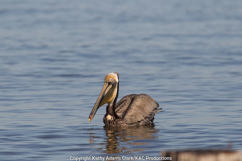 Brown pelican, Pelecanus occidentalis, feeding, pouch, spring, Galveston, Texas.