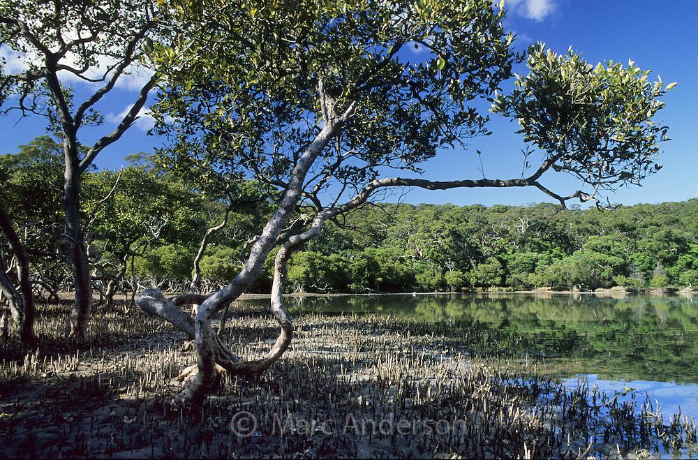 Mangroves, Bundeena, Royal National Park, NSW, Australia.