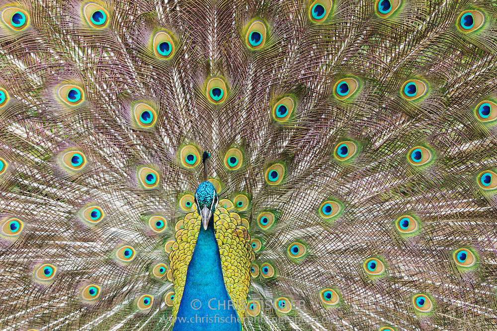 Eye-level view of an Indian Peacock displaying; head-on view.