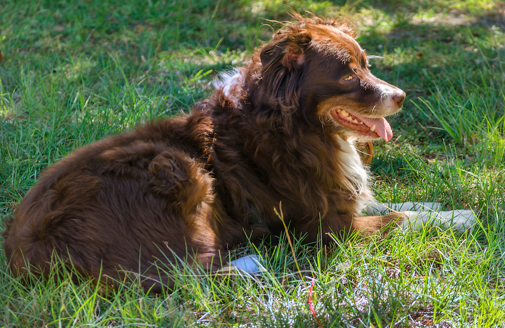 Cowboy, a six-year-old, red tri Australian Shepherd, enjoys laying out in the sunshine, Oct. 4, 2014, in Coden, Alabama. (Photo by Carmen K. Sisson/Cloudybright)