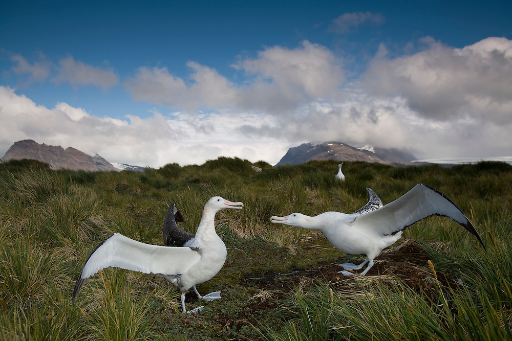 Antarctica, South Georgia Island (UK), Courtship display of Wandering Albatross (Diomedea exulans) on Prion Island