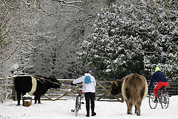 © Licensed to London News Pictures. 10/02/2012, London, UK.  People cycle pass two bulls on the snow covered North Down in Surrey, south London, as the cold weather continue to affect much of Britain. Friday, Feb. 10, 2012. Photo credit : Sang Tan/LNP