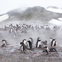 Gentoo penguins sit on rock nests with their fluffy grey chicks on a snowy day on Barrientos Island.