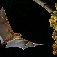 A Short-nosed Fruit Bat (Cynopterus brachyotis) swoops in to select a ripe fig (Ficus fistulosa) growing directly on the trunk of the tree. Rather than eating on the spot, the bat will carry the fig off to a favorite perch where it can dine in safety, thus helping to spread the tree's seeds. Sarawak, Malaysia