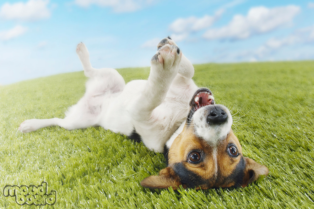 Jack Russell terrier lying on back in grass extending paw